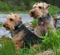 Two Welsh Terriers
